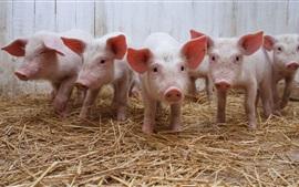 壁紙のプレビュー 5匹の小さな豚