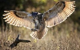 Coruja de vôo, asas, grama