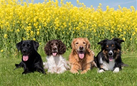 Preview wallpaper Four dogs, rapeseed flowers background