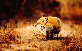 Fox bostezo, fotografía de animales