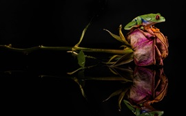 Preview wallpaper Frog, dry rose, mirror, black background