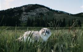 壁紙のプレビュー 毛皮の多い猫は草の中を歩く