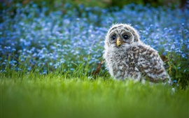 Preview wallpaper Furry little owl baby, grass, blue flowers background