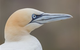 Gannet side view, head, beak