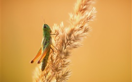 Preview wallpaper Grass, grasshopper, insect