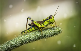 Grasshopper, insect, green background