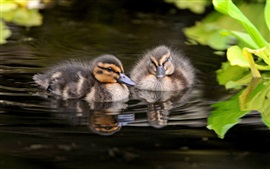 Preview wallpaper Gray ducklings swim in water