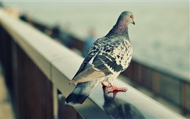 Preview wallpaper Gray feather pigeon, standing, fence