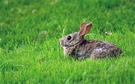 Preview wallpaper Gray rabbit, rest, grass