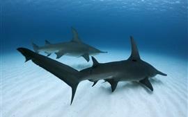 Grande Hammerhead Shark, mar, debaixo d'água