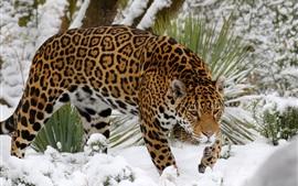 Jaguar walk in snow, predator, winter