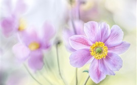 Preview wallpaper Japanese anemone, pink petals, macro photography