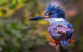 Preview wallpaper Kingfisher back view, feather, beak