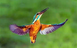 Preview wallpaper Kingfisher flight, wings, water drops