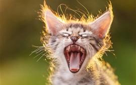 Котенок зевает, подсветка