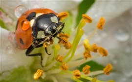 Preview wallpaper Ladybug, stamens, flower