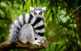 Preview wallpaper Lemur look at you, white and black stripes