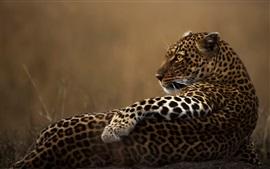 Leopard descansa, olha para trás