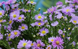 Preview wallpaper Light purple aster flowers