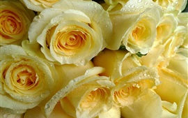 Preview wallpaper Light yellow roses, water drops
