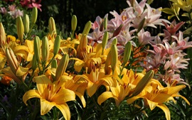 Preview wallpaper Lily flowers bloom, yellow and pink