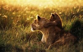 Família leão, carinho, filhote, grama, luz do sol