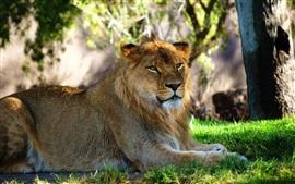 Leão deitado na grama para descansar