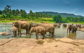 Preview wallpaper Many elephants drink water, river, palm trees