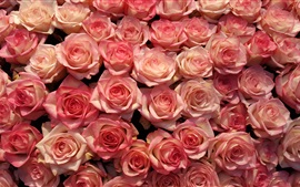 Preview wallpaper Many pink roses, flowers background