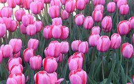 Aperçu fond d'écran Beaucoup de fleurs de tulipes roses, jardin