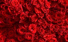 Preview wallpaper Many red roses background, water drops