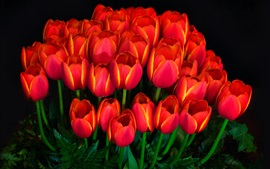 Many red tulips, darkness