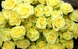 Preview wallpaper Many yellow roses, water drops