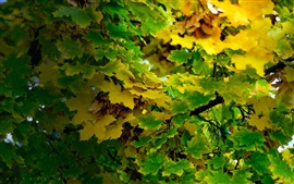 Preview wallpaper Maple leaves tree, green and yellow, autumn