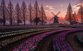 Netherlands, tulips flowers fields, trees, windmill