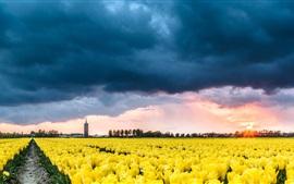 Países Bajos, tulipanes amarillos campo de flores, nubes, puesta de sol