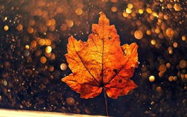 Preview wallpaper One orange maple leaf, glare circles