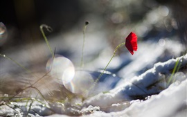 Preview wallpaper One red poppy flower, snow, winter