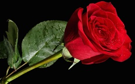 Preview wallpaper One red rose, water drops, black background