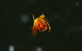 Preview wallpaper Orange rose, black background