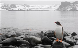 Pinguim, rochas, mar