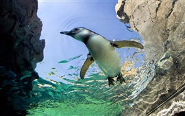 Penguin swimming in the water