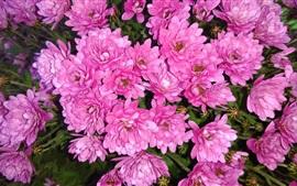 Crisântemo rosa, flores, gotas de água