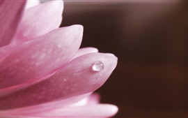 Preview wallpaper Pink petals close-up, water drop, black background