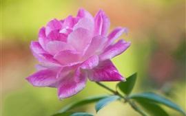 Pétalas cor-de-rosa flor fotografia macro, folhas