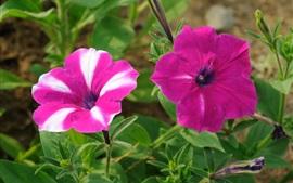 Pink petunias flowers, greenery