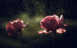 Preview wallpaper Pink rose in rain