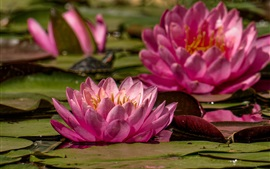 Preview wallpaper Pink water lily flowering, pond