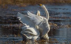 Пруд, два белых лебедя, пара