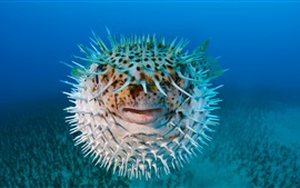 Preview wallpaper Puffer fish, front view